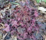 Heuchera × hybrida
