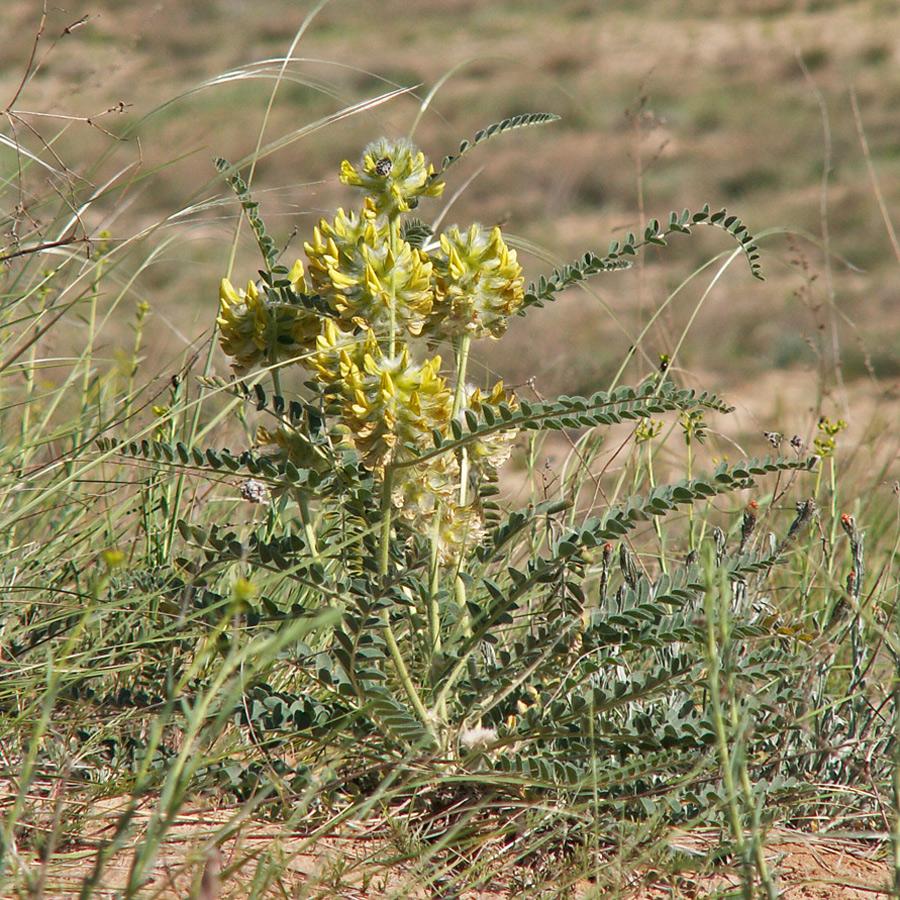 Изображение растения Astragalus vulpinus.