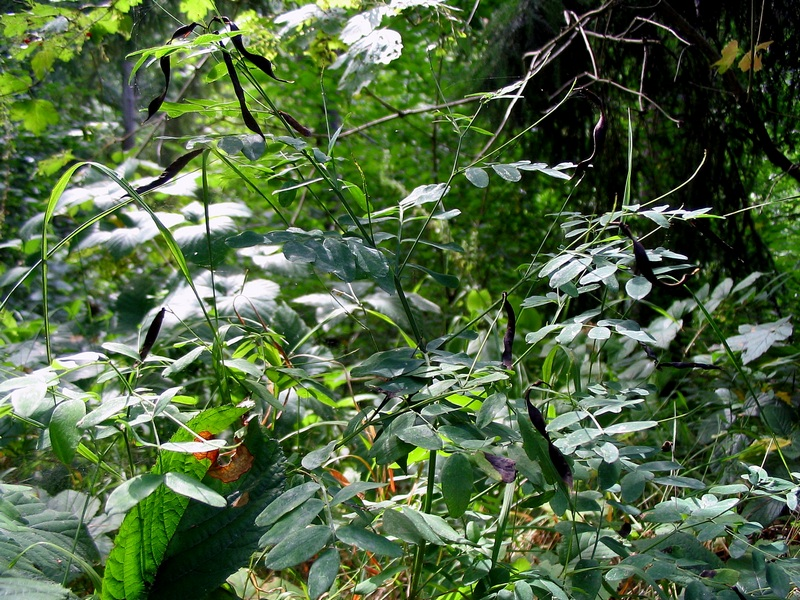 Чина чёрная (Lathyrus niger) Автор фото: Сергей Козлан