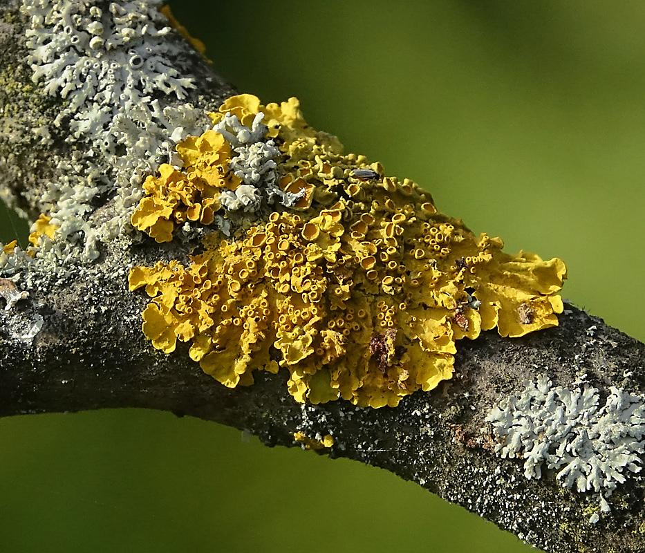 Ксантория настенная (Xanthoria parietina) Автор фото: Виталий Гуменюк