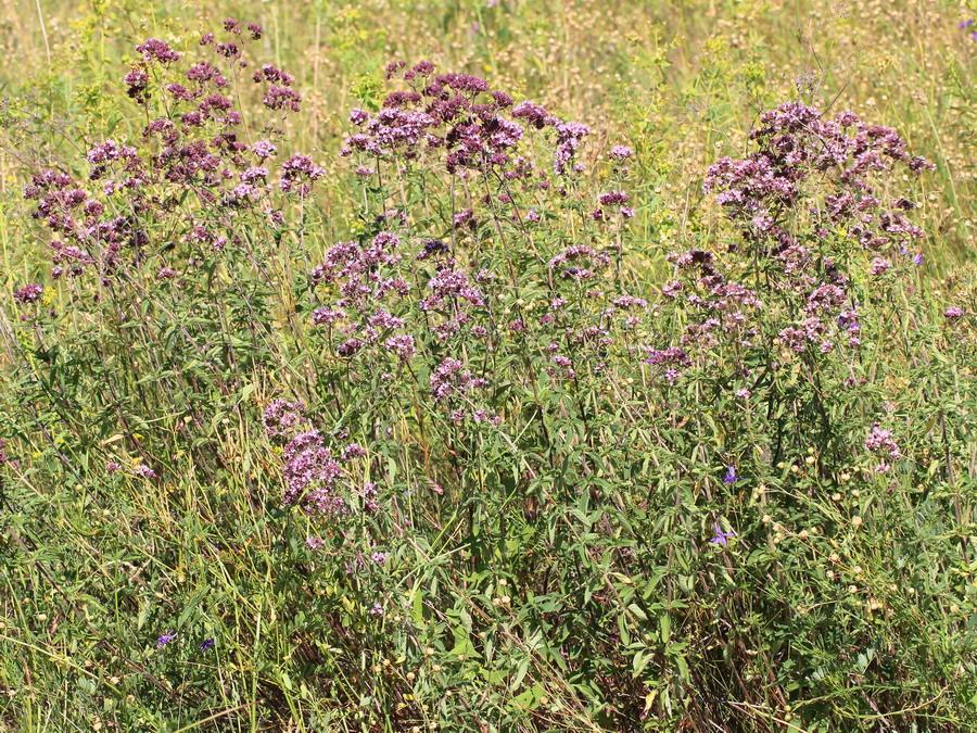 Душица обыкновенная (Origanum vulgare)
