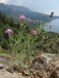 Centaurea caprina