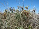 Astragalus maverranagri