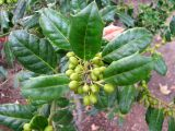 Ilex × meserveae