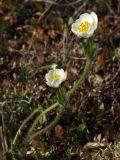 Anemonastrum sibiricum
