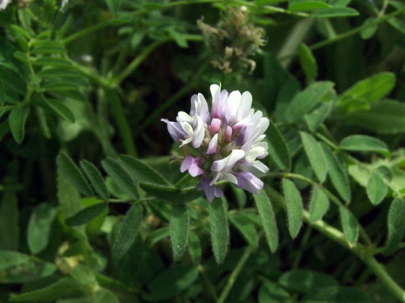 Изображение растения Astragalus filicaulis.