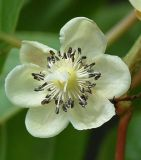 Actinidiaceae