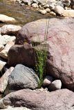 Equisetum ramosissimum