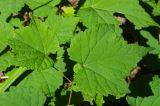 Vitaceae