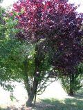 Prunus cerasifera var. pissardii