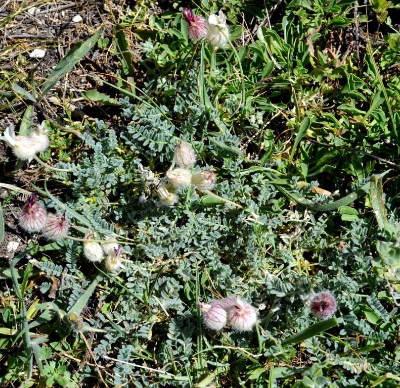 Изображение растения Astragalus karakuschensis.