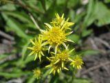 Solidago spiraeifolia