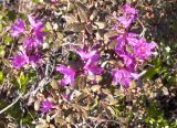 Rhododendron parvifolium