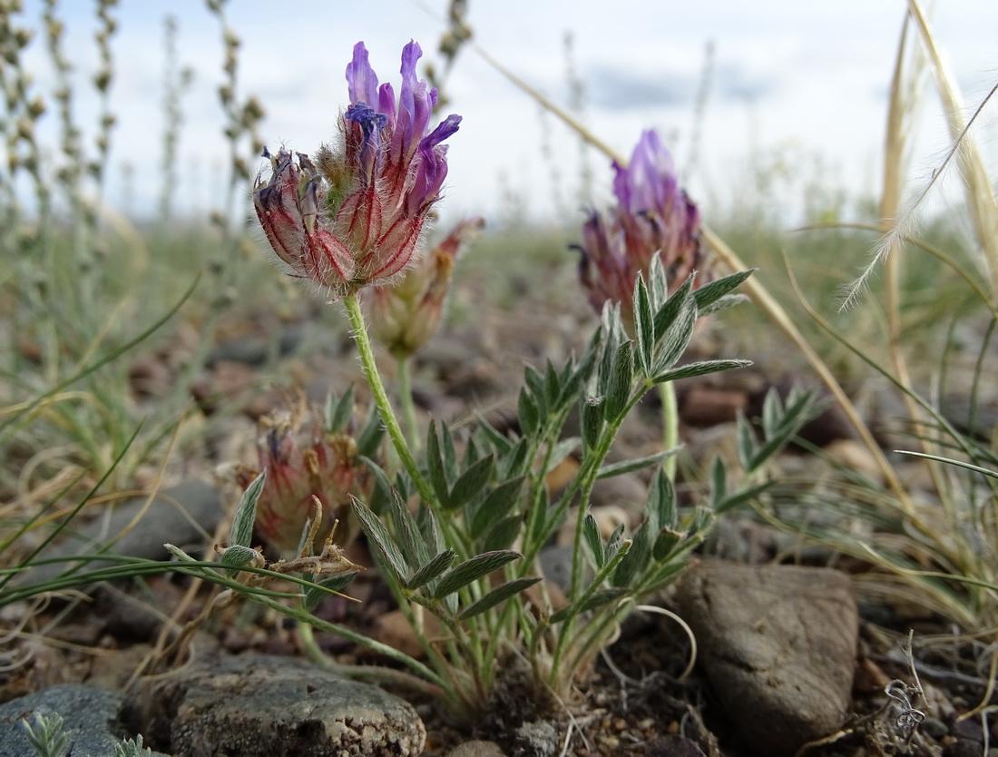 Изображение растения Astragalus laguroides.