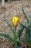 Tulipa ferganica