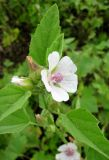 Althaea officinalis. Верхняя часть соцветия. Астраханская обл., Камызякский р-н, берег р. Гандурино у переправы возле с. Образцово-Травино. 17.08.2011.