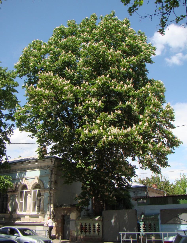Деревья краснодарского края фото и описание