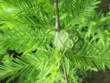 Taxodium distichum