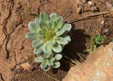 Filago pygmaea