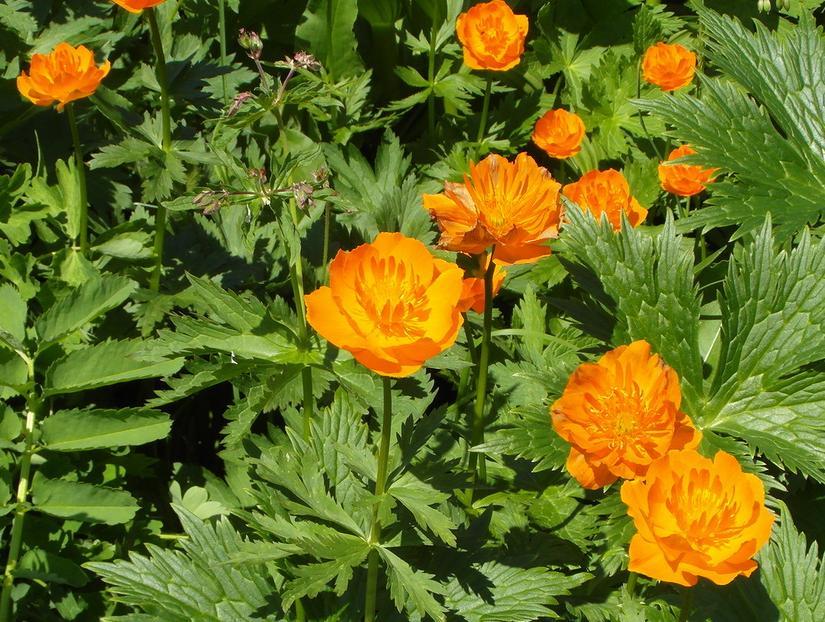 цветы красноярского края фото и названия это звездная
