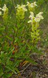 Scutellaria supina
