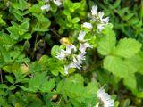 Astragalus schumilovae
