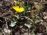 Taraxacum turcomanicum