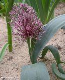 Allium alexeianum