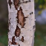 Betula pendula f. dalecarlica