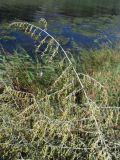 Artemisia santonicum