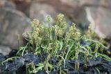 Plantago maritima ssp. subpolaris