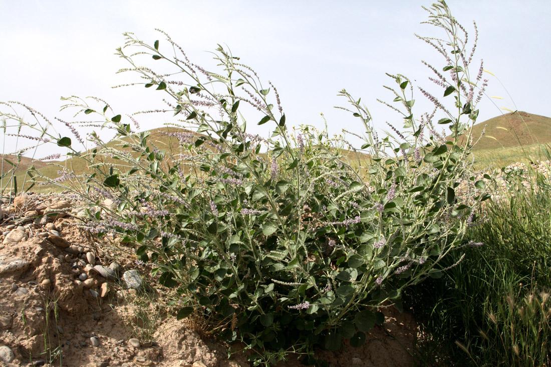 псоралея костянковая