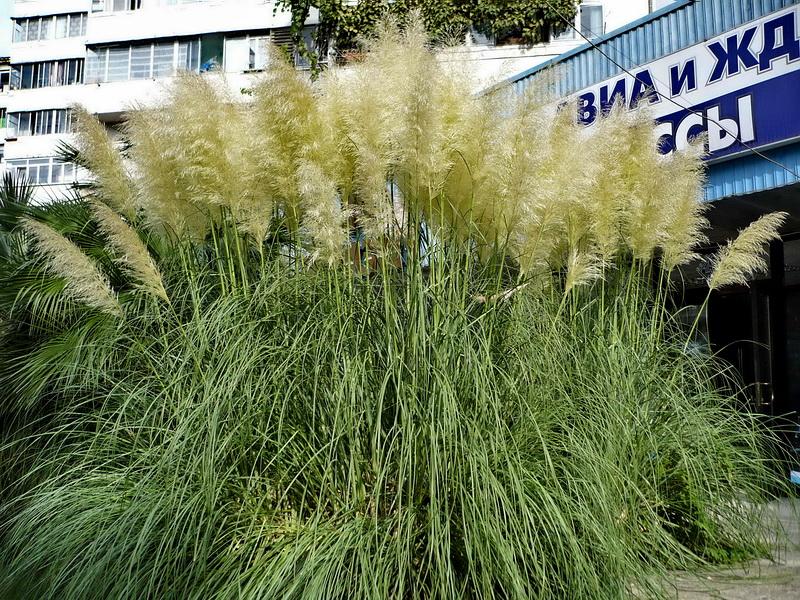 Как сажать семена пампасной травы 43