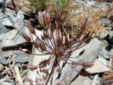 Allium gusaricum