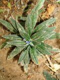 Echium vulgare