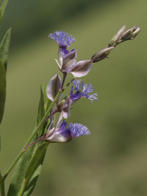 Изображение растения Polygala sibirica.