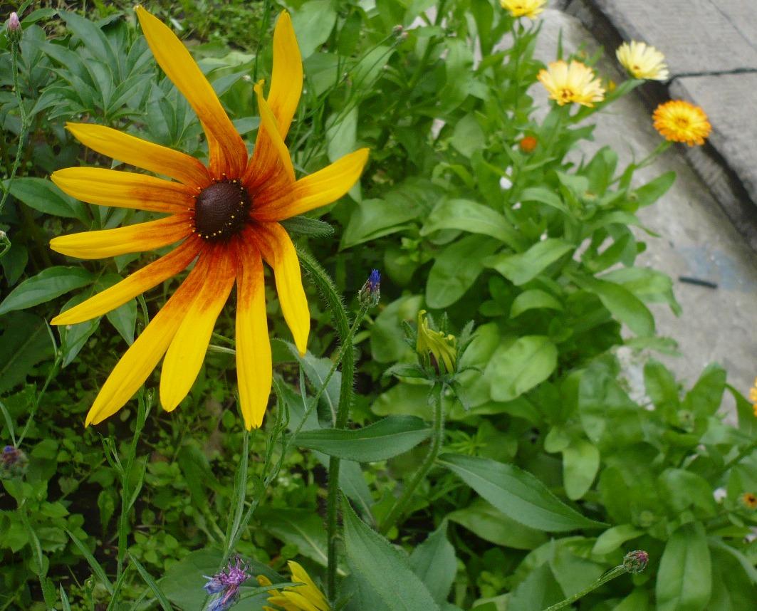 эти фото цветка рудбекия мирабилис тебе