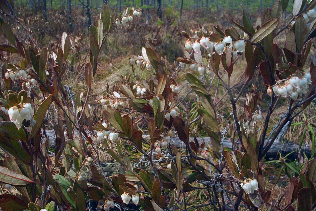 Болотные растения дальнего востока фото
