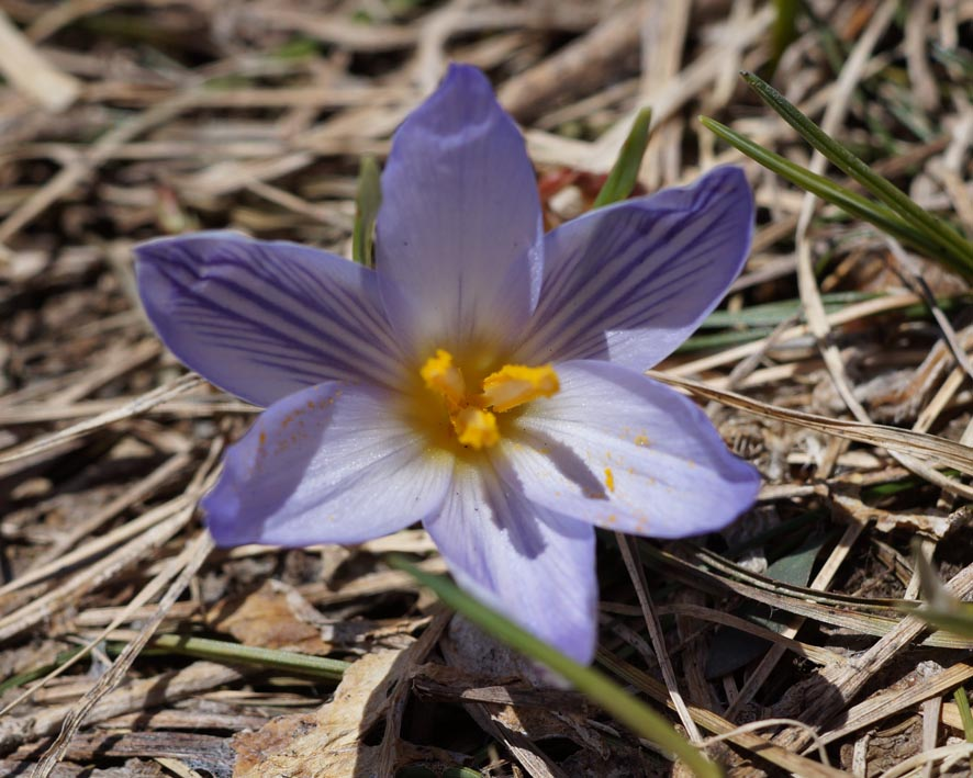 шафран  растения