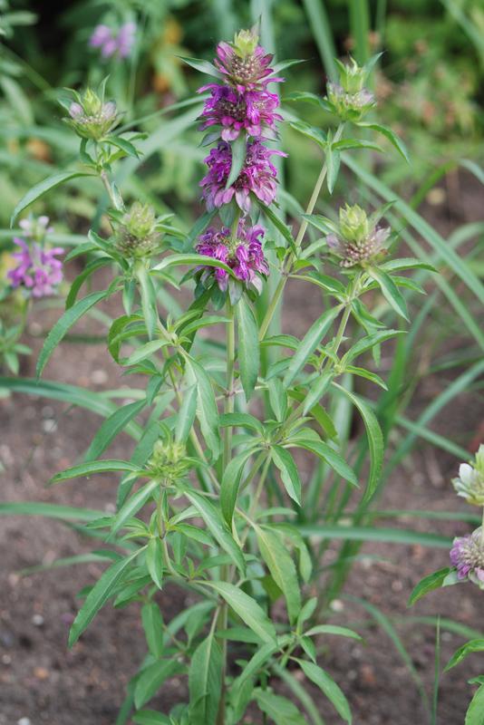 Растение москва ботанический сад мгу