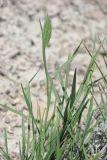 Agropyron pinifolium