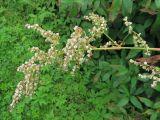 Aconogonon bucharicum