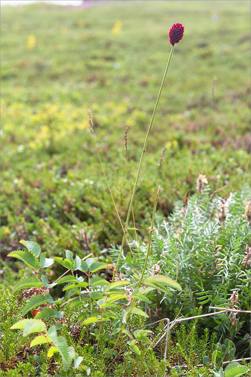 Кровохлёбка лекарственная (Sanguisorba officinalis). Автор фото: Мария Новикова