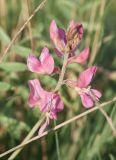 Oxytropis floribunda