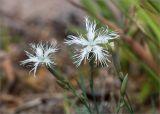 Dianthus borussicus