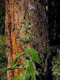 Adenophora golubinzevaeana