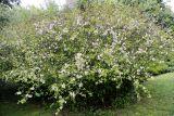 Chaenomeles × vilmoriniana
