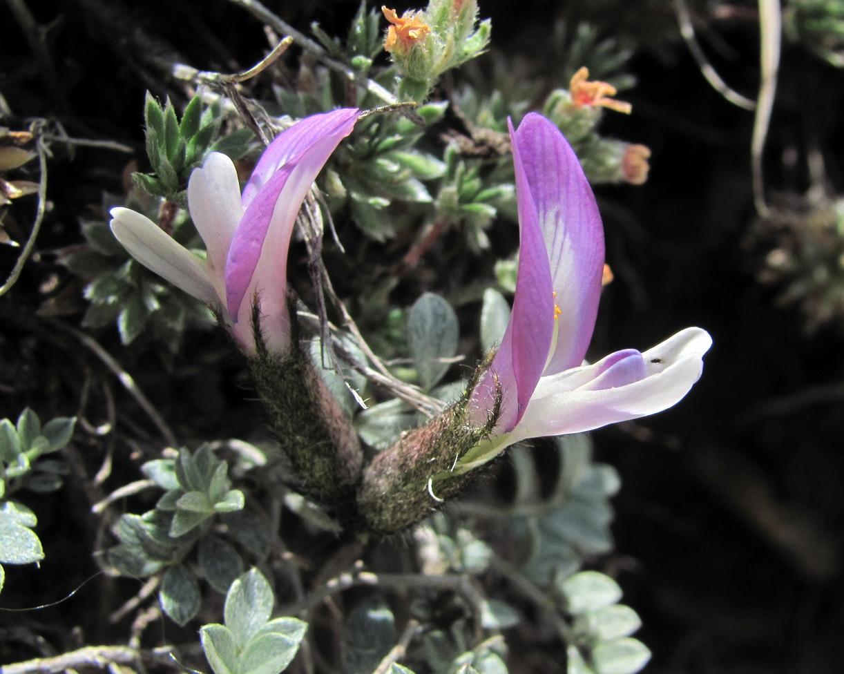Изображение растения Astragalus fissuralis.