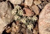 Phaeonychium