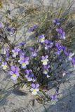Viola maritima
